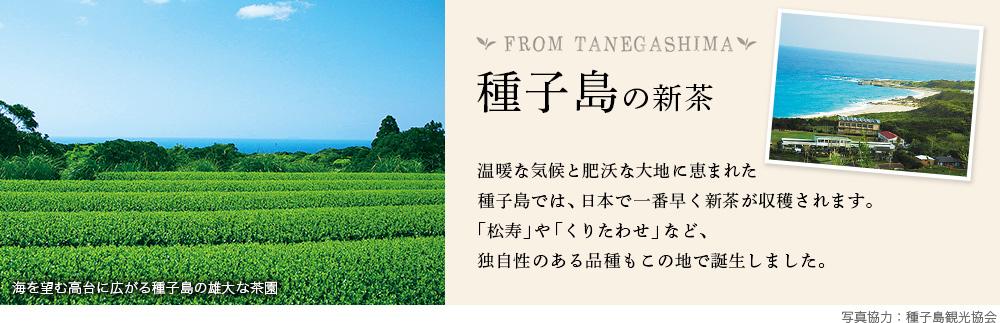 種子島の新茶